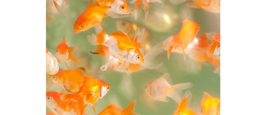 HP---pesci-rossi-1